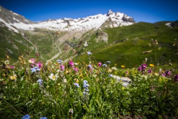 Alpine flowers on the Col de la Seigne